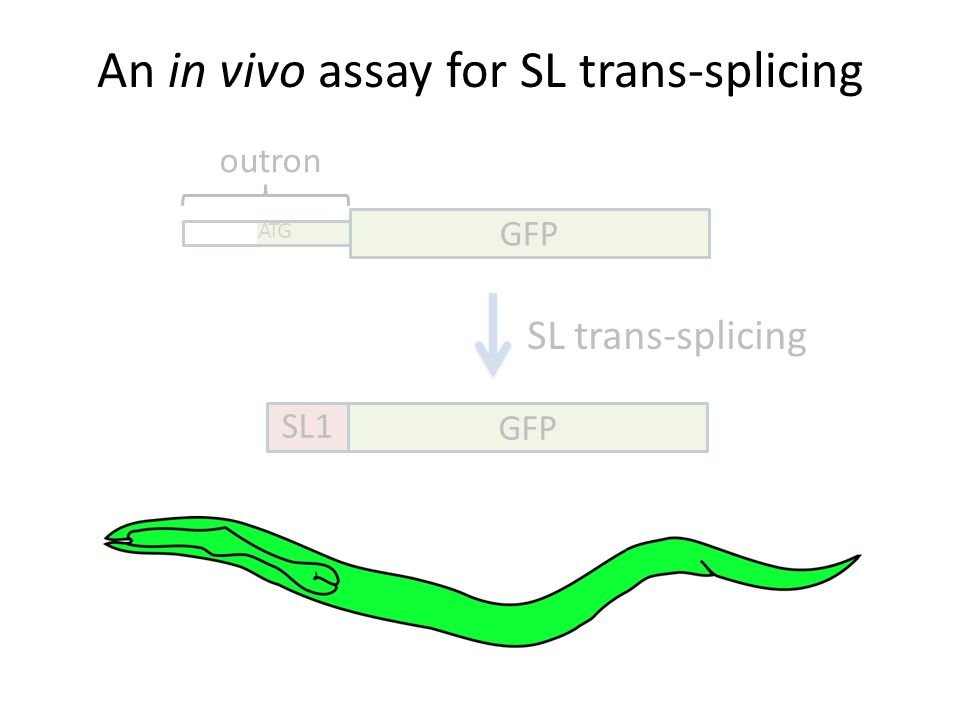An in vivo assay for SL trans-splicing GFP SL1 GFP ATG outron SL trans-splicing
