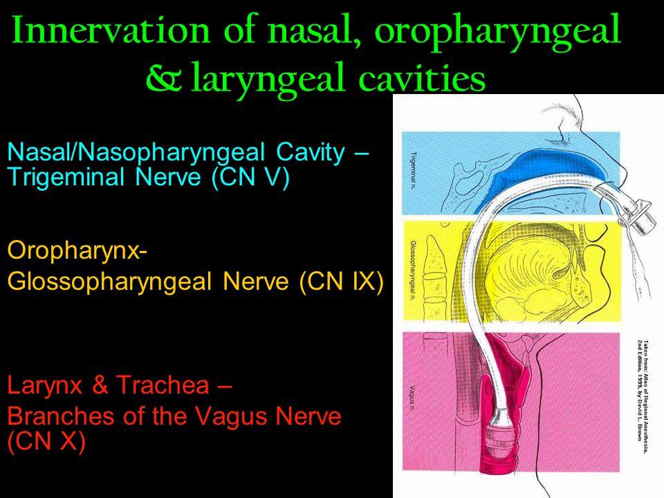 Innervation of nasal, oropharyngeal & laryngeal cavities Nasal/Nasopharyngeal Cavity – Trigeminal Nerve (CN V) Oropharynx- Glossopharyngeal Nerve (CN IX) Larynx & Trachea – Branches of the Vagus Nerve (CN X)