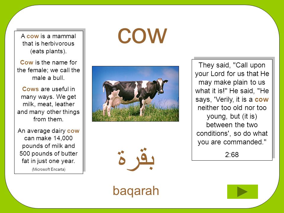 cow ﺑﻗﺮﺓ baqarah They said, Call upon your Lord for us that He may make plain to us what it is! He said, He says, Verily, it is a cow neither too old nor too young, but (it is) between the two conditions , so do what you are commanded. 2:68 They said, Call upon your Lord for us that He may make plain to us what it is! He said, He says, Verily, it is a cow neither too old nor too young, but (it is) between the two conditions , so do what you are commanded. 2:68 A cow is a mammal that is herbivorous (eats plants).
