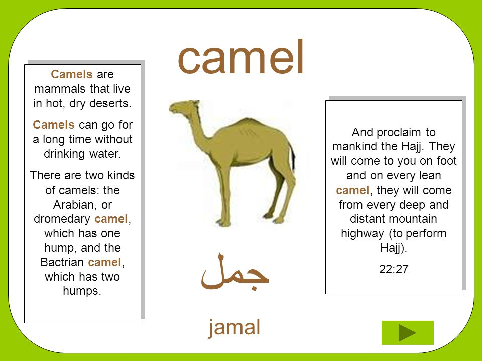 camel ﺟﻣﻞ jamal And proclaim to mankind the Hajj. They will come to you on foot and on every lean camel, they will come from every deep and distant mo