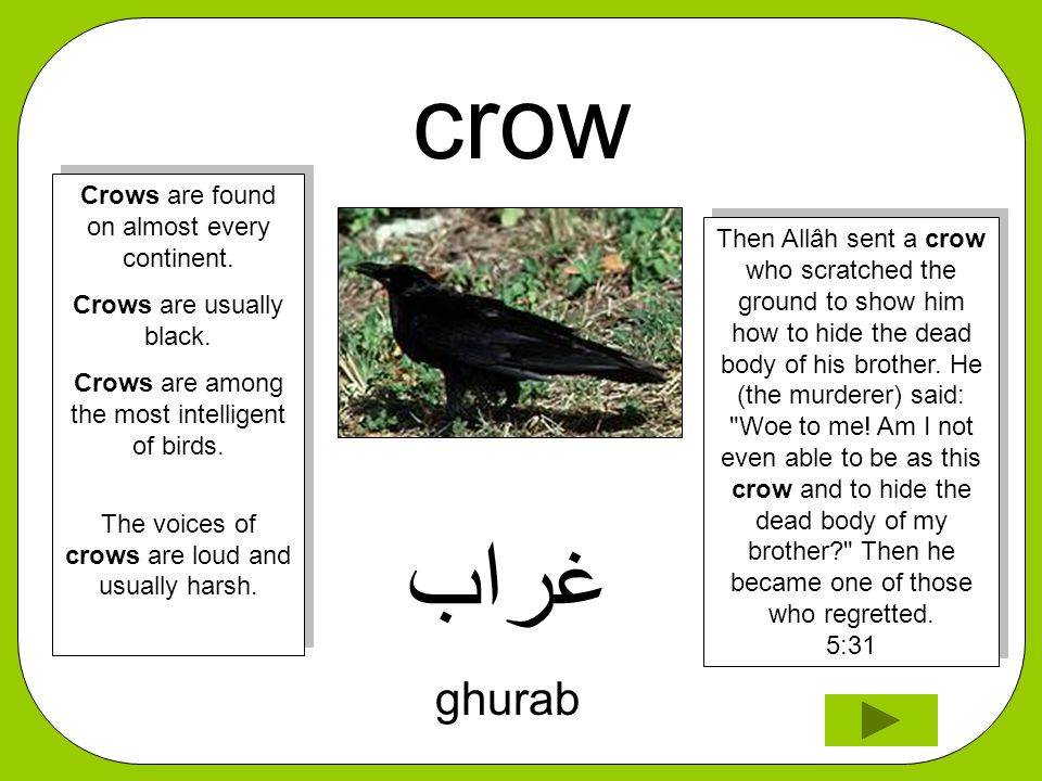 crow ﻏﺮﺍﺐ ghurab Then Allâh sent a crow who scratched the ground to show him how to hide the dead body of his brother. He (the murderer) said: