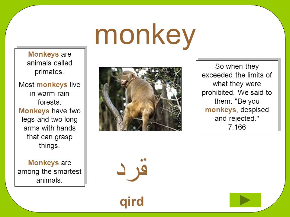 monkey ﻘﺮﺪ qird So when they exceeded the limits of what they were prohibited, We said to them: Be you monkeys, despised and rejected. 7:166 Monkeys are animals called primates.