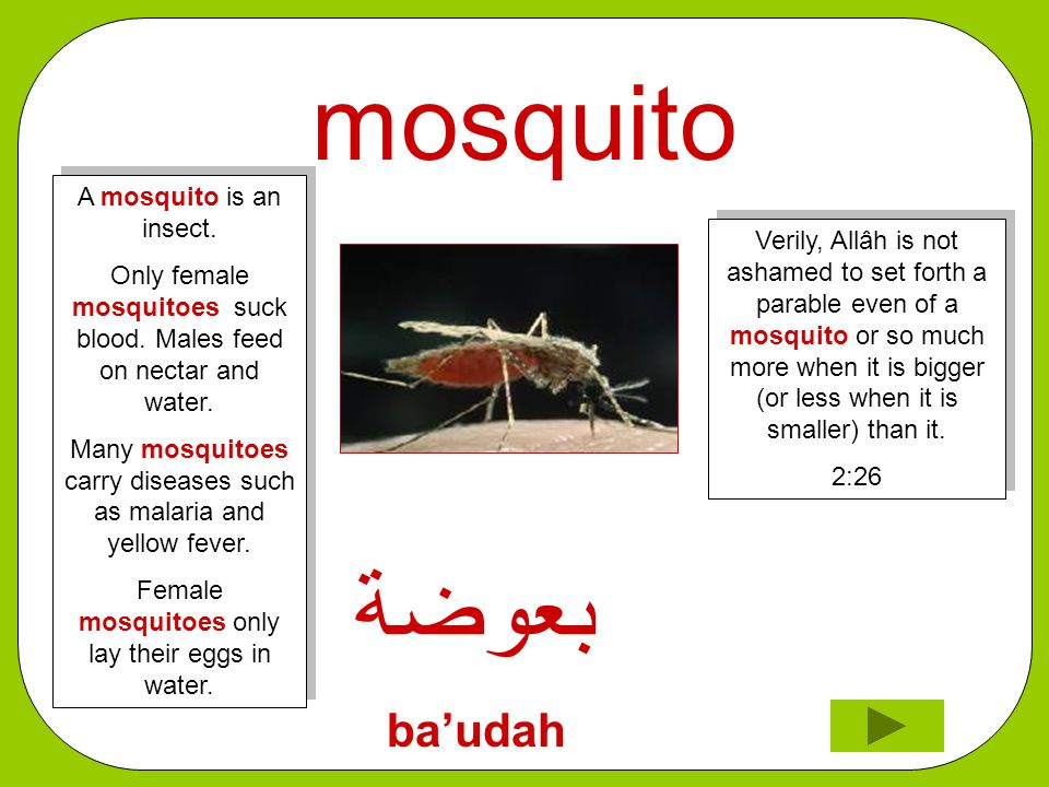mosquito ﺑﻌﻮﺿﺔ ba'udah Verily, Allâh is not ashamed to set forth a parable even of a mosquito or so much more when it is bigger (or less when it is smaller) than it.