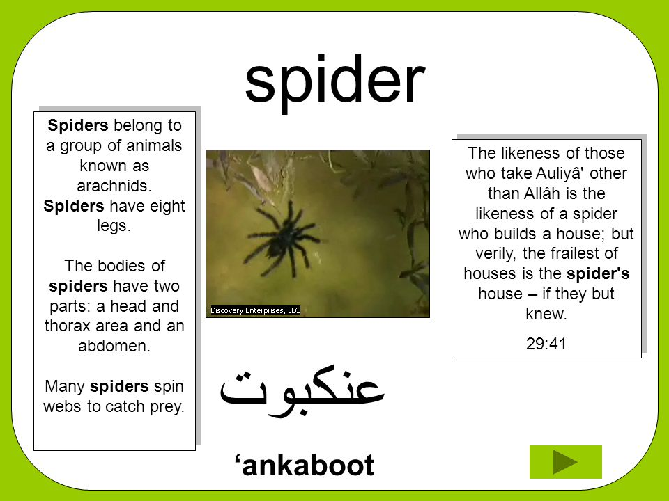 spider ﻋﻧﻜﺑﻮﺖ 'ankaboot The likeness of those who take Auliyâ other than Allâh is the likeness of a spider who builds a house; but verily, the frailest of houses is the spider s house – if they but knew.