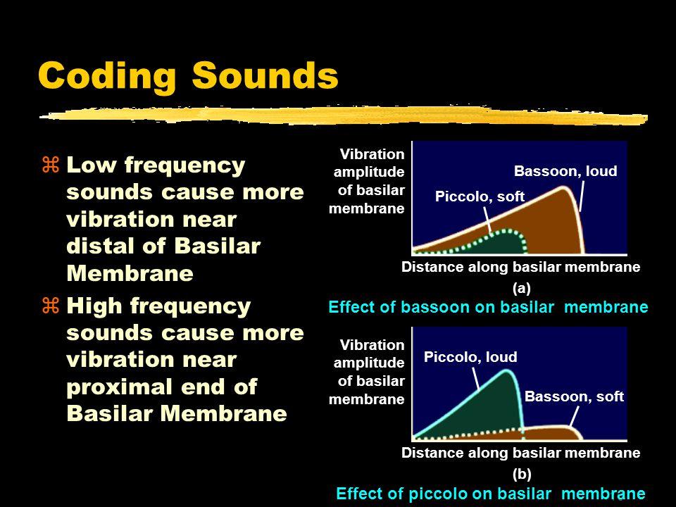 16 Coding Sounds zLow frequency sounds cause more vibration near distal of Basilar Membrane zHigh frequency sounds cause more vibration near proximal end of Basilar Membrane Piccolo, soft Bassoon, loud Piccolo, loud Bassoon, soft Distance along basilar membrane (a) Distance along basilar membrane (b) Effect of bassoon on basilar membrane Vibration amplitude of basilar membrane Vibration amplitude of basilar membrane Effect of piccolo on basilar membrane