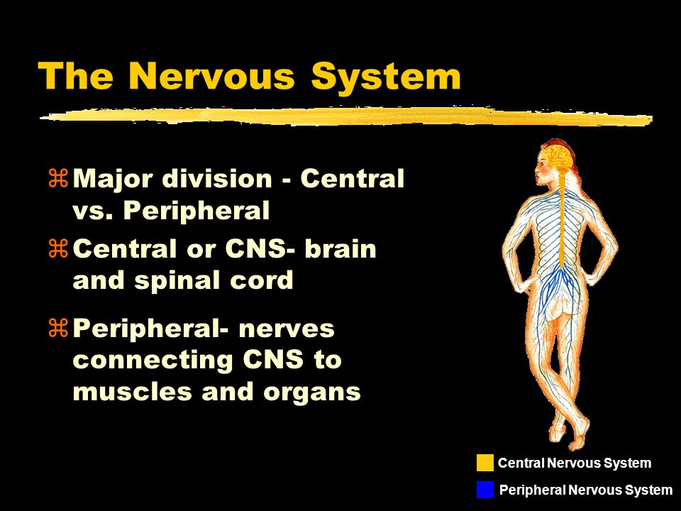 z3 kinds of neurons connect CNS to the body ysensory ymotor yinterneurons zMotor - CNS to muscles and organs zSensory - sensory receptors to CNS zInterneurons: Connections Within CNS Spinal Cord Brain Nerves