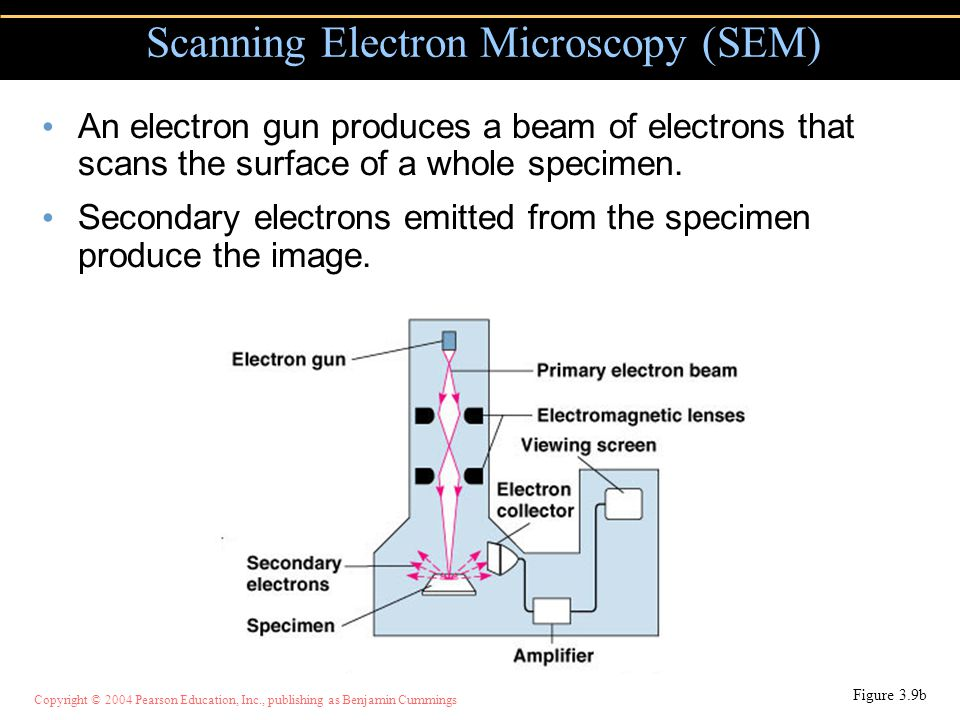 Copyright © 2004 Pearson Education, Inc., publishing as Benjamin Cummings An electron gun produces a beam of electrons that scans the surface of a who