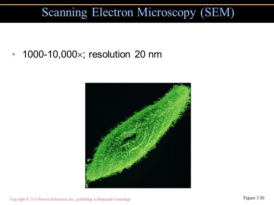 Copyright © 2004 Pearson Education, Inc., publishing as Benjamin Cummings 1000-10,000  ; resolution 20 nm Scanning Electron Microscopy (SEM) Figure 3