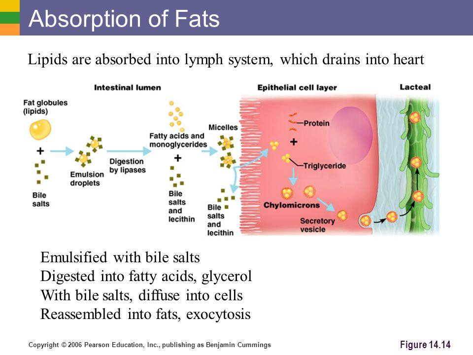 Copyright © 2006 Pearson Education, Inc., publishing as Benjamin Cummings Absorption of Fats Figure 14.14 Lipids are absorbed into lymph system, which