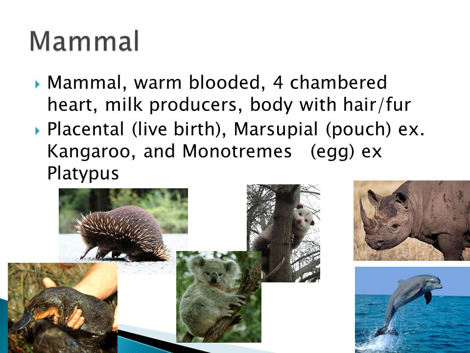  Mammal, warm blooded, 4 chambered heart, milk producers, body with hair/fur  Placental (live birth), Marsupial (pouch) ex. Kangaroo, and Monotremes