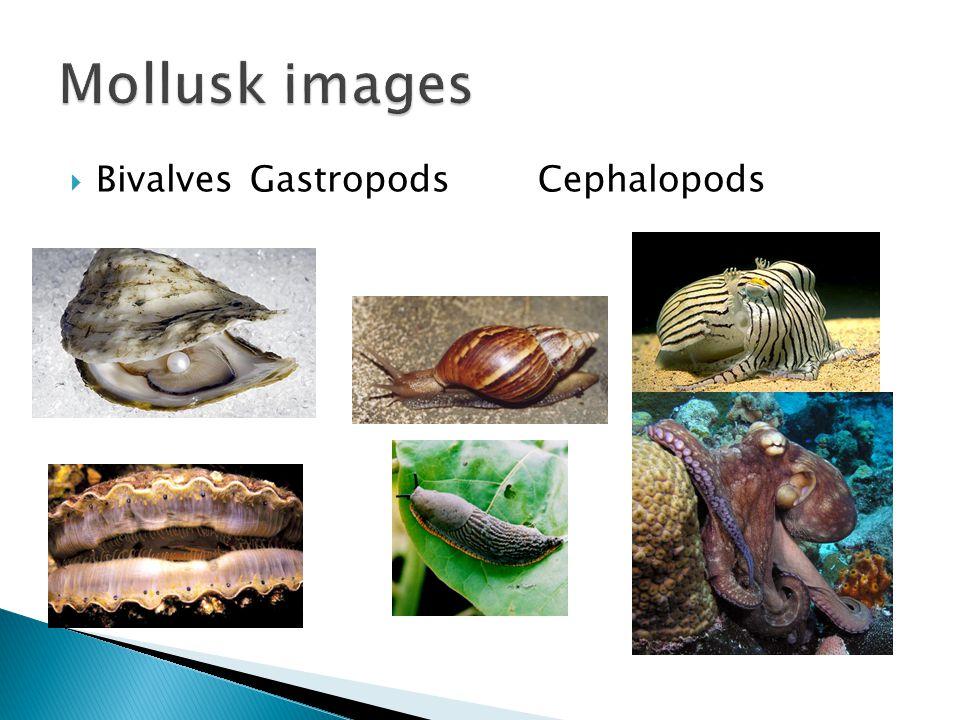  BivalvesGastropodsCephalopods