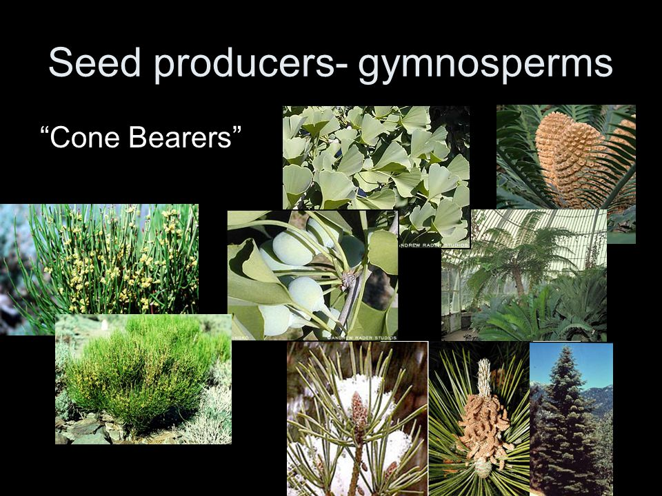 "Seed producers- gymnosperms ""Cone Bearers"""