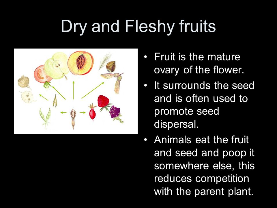 Dry and Fleshy fruits Fruit is the mature ovary of the flower. It surrounds the seed and is often used to promote seed dispersal. Animals eat the frui