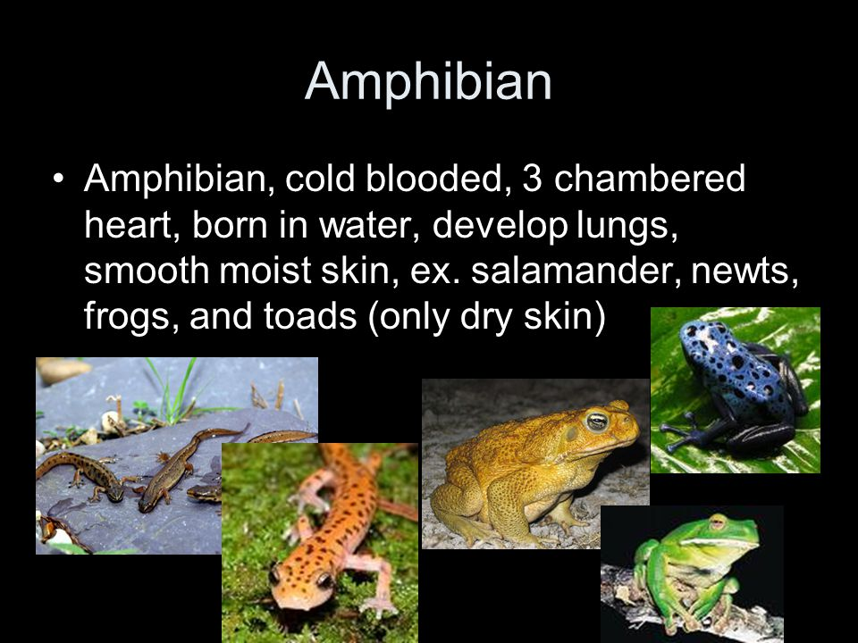 Amphibian Amphibian, cold blooded, 3 chambered heart, born in water, develop lungs, smooth moist skin, ex. salamander, newts, frogs, and toads (only d