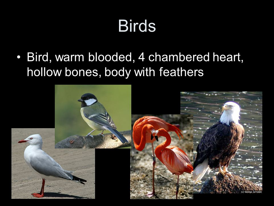 Birds Bird, warm blooded, 4 chambered heart, hollow bones, body with feathers