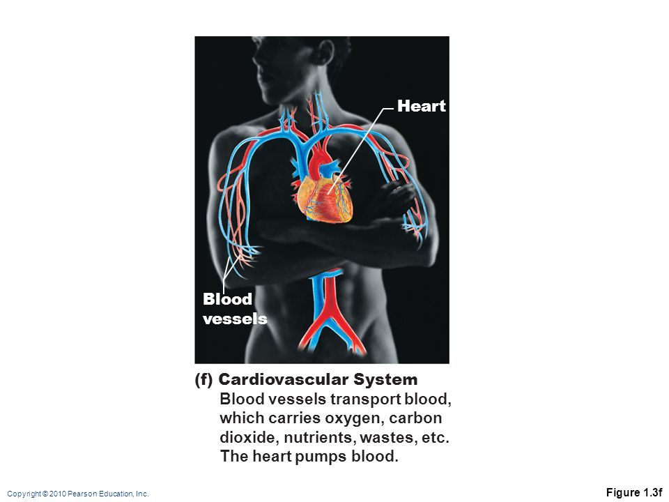 Copyright © 2010 Pearson Education, Inc. Figure 1.3f (f) Cardiovascular System Blood vessels transport blood, which carries oxygen, carbon dioxide, nu