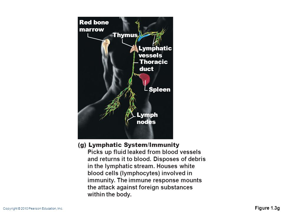 Copyright © 2010 Pearson Education, Inc. Figure 1.3g Lymphatic vessels Red bone marrow Thoracic duct Thymus Spleen Lymph nodes (g) Lymphatic System/Im