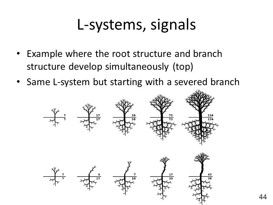 L-systems, signals Example where the root structure and branch structure develop simultaneously (top) Same L-system but starting with a severed branch 44
