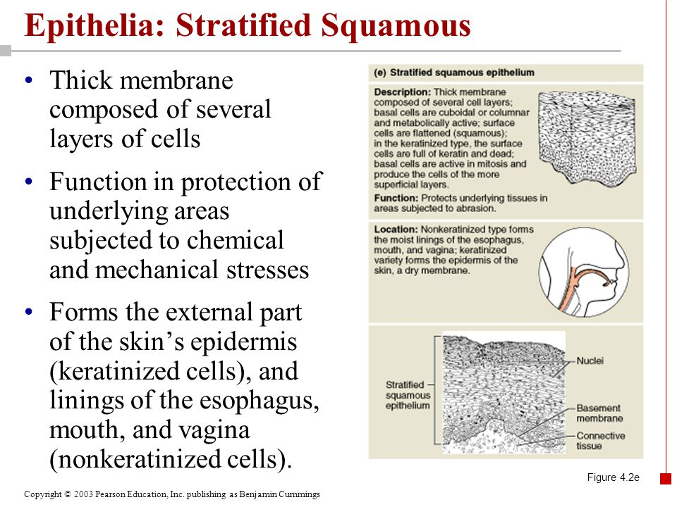 Copyright © 2003 Pearson Education, Inc. publishing as Benjamin Cummings Epithelia: Stratified Squamous Thick membrane composed of several layers of c