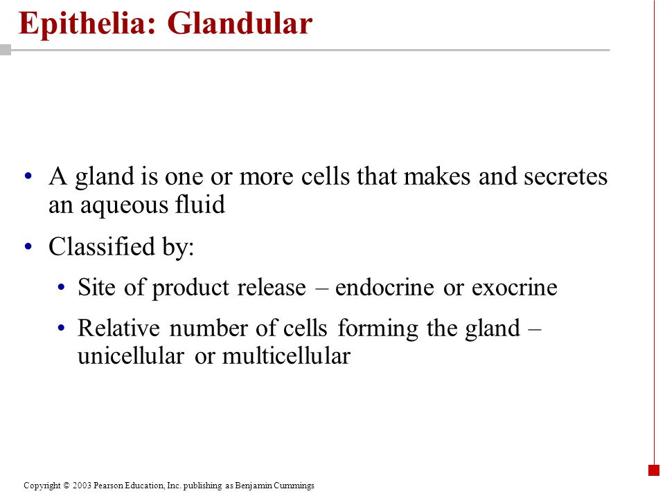 Copyright © 2003 Pearson Education, Inc. publishing as Benjamin Cummings Epithelia: Glandular A gland is one or more cells that makes and secretes an