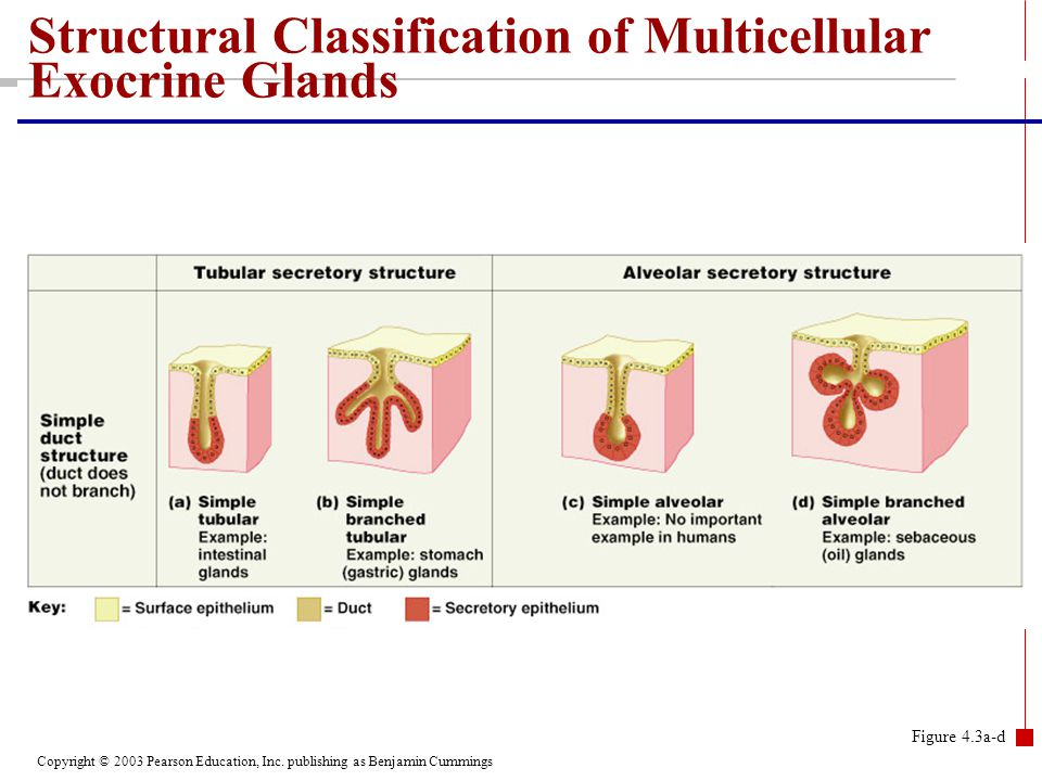 Copyright © 2003 Pearson Education, Inc. publishing as Benjamin Cummings Figure 4.3a-d Structural Classification of Multicellular Exocrine Glands