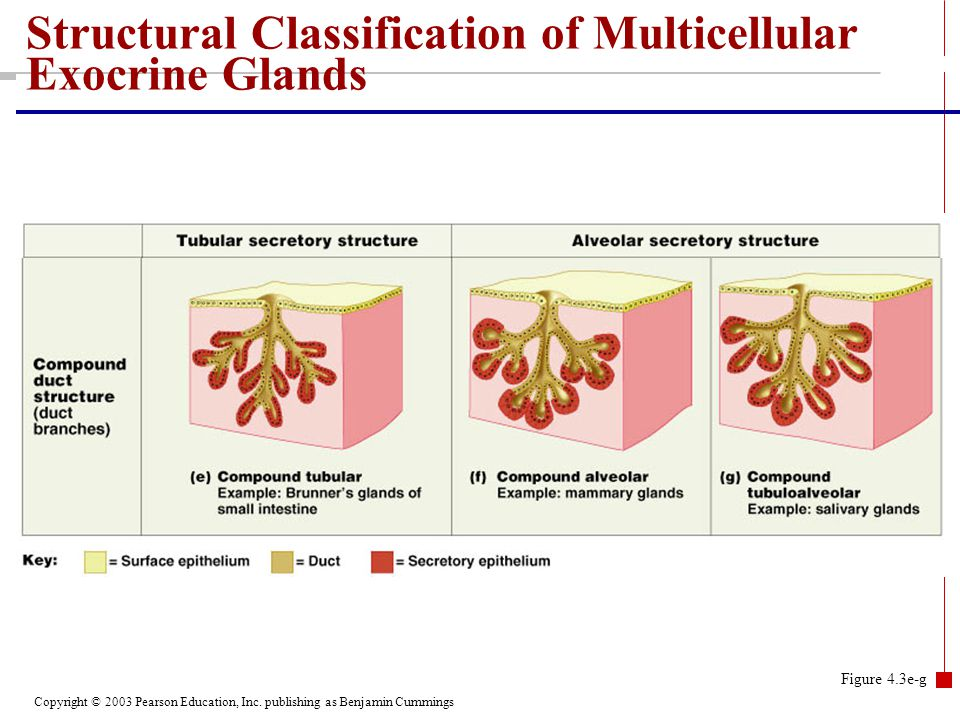 Copyright © 2003 Pearson Education, Inc. publishing as Benjamin Cummings Structural Classification of Multicellular Exocrine Glands Figure 4.3e-g