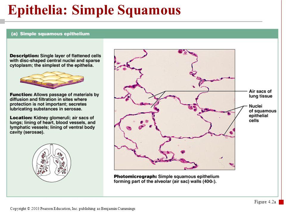 Copyright © 2003 Pearson Education, Inc. publishing as Benjamin Cummings Epithelia: Simple Squamous Figure 4.2a