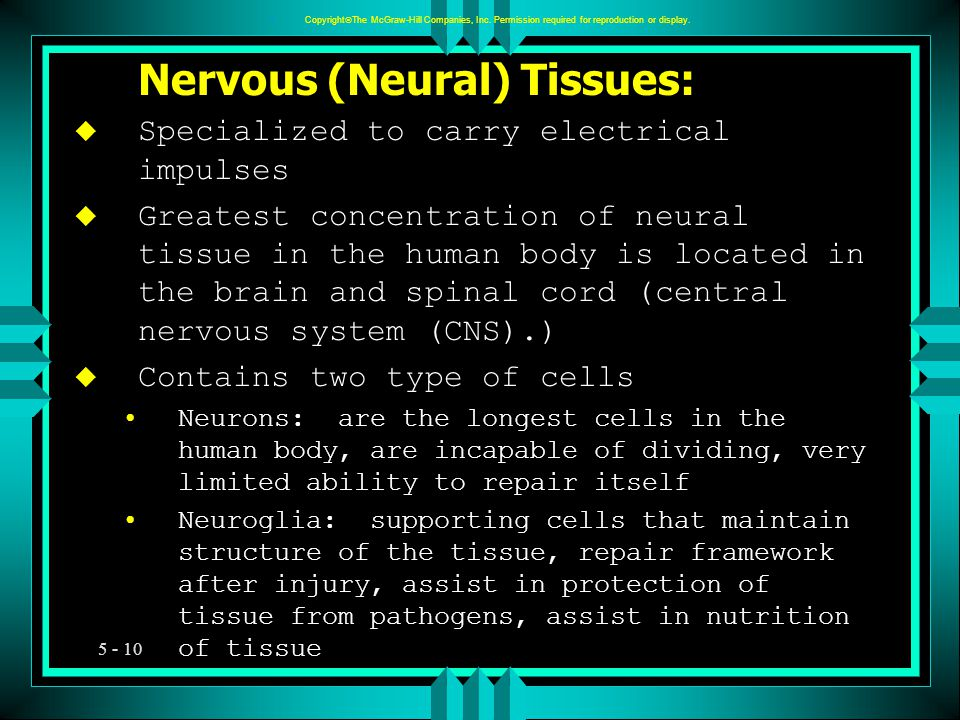 5 - 10 Nervous (Neural) Tissues: u Specialized to carry electrical impulses u Greatest concentration of neural tissue in the human body is located in the brain and spinal cord (central nervous system (CNS).) u Contains two type of cells Neurons: are the longest cells in the human body, are incapable of dividing, very limited ability to repair itself Neuroglia: supporting cells that maintain structure of the tissue, repair framework after injury, assist in protection of tissue from pathogens, assist in nutrition of tissue u Copyright  The McGraw-Hill Companies, Inc.
