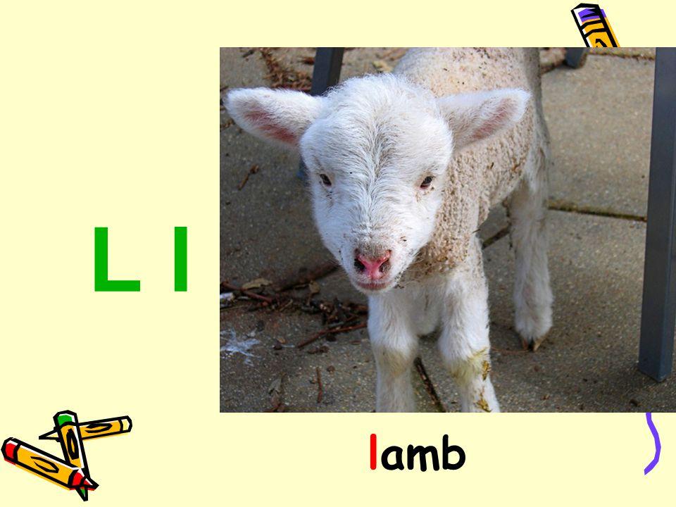L l lamb