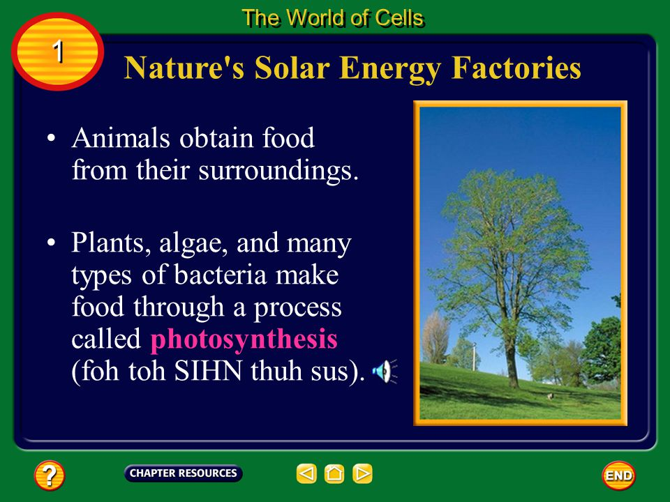 Nature's Solar Energy Factories The World of Cells 1 1 Most photosynthesis in plants occurs in leaf cells. Inside these cells are green organelles cal