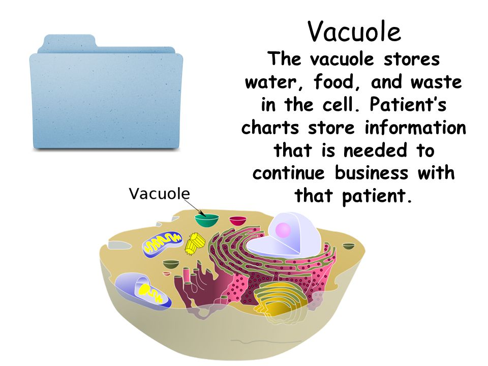 Vacuole The vacuole stores water, food, and waste in the cell. Patient's charts store information that is needed to continue business with that patien