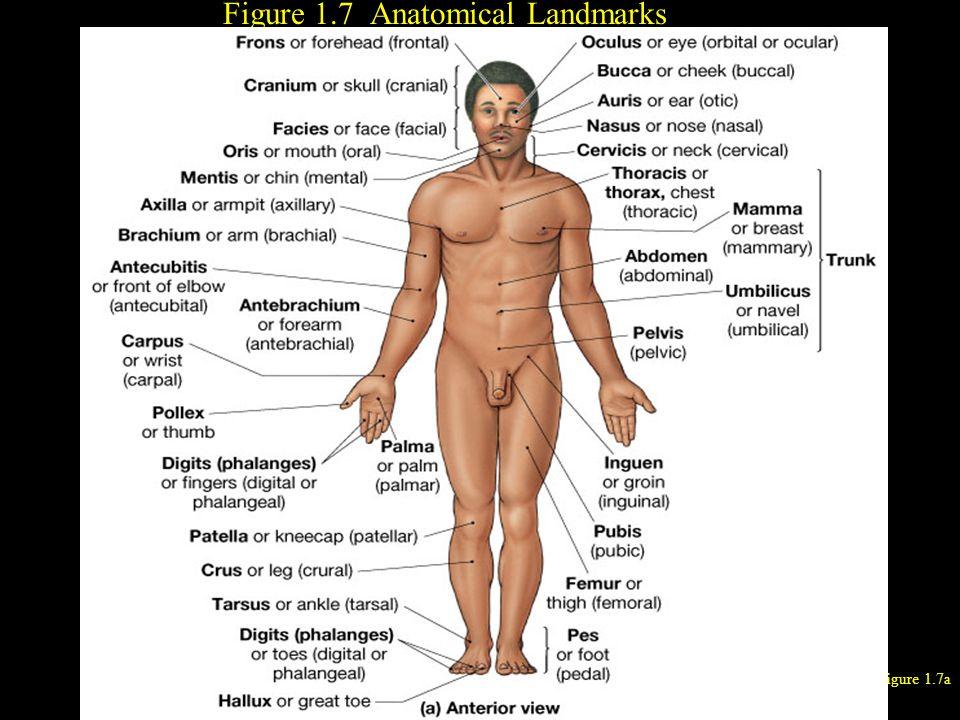 Figure 1.7 Anatomical Landmarks Figure 1.7a