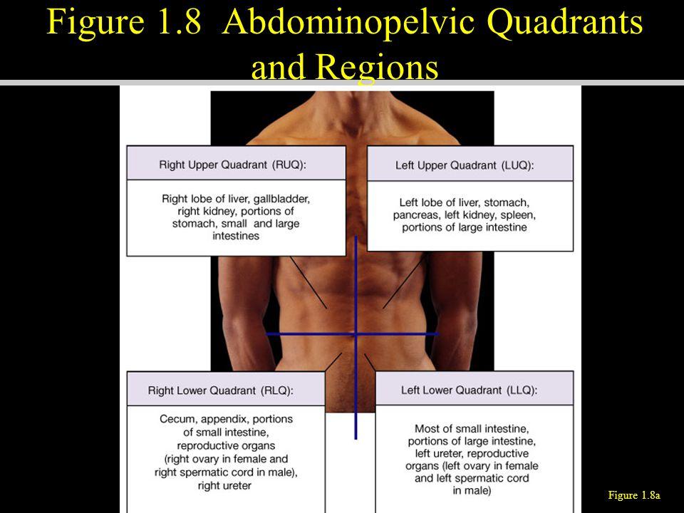 Figure 1.8 Abdominopelvic Quadrants and Regions Figure 1.8a