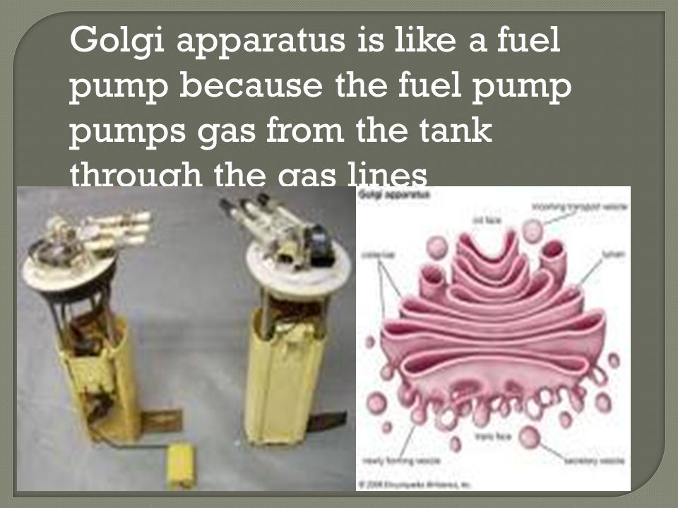 Golgi apparatus is like a fuel pump because the fuel pump pumps gas from the tank through the gas lines