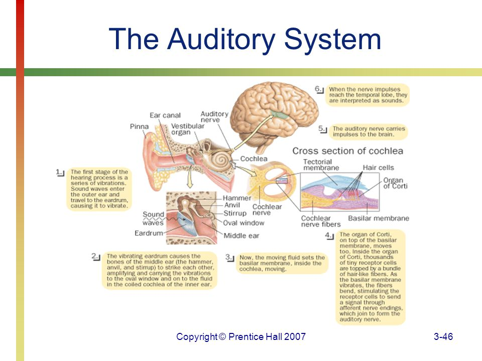 Copyright © Prentice Hall 20073-46 The Auditory System