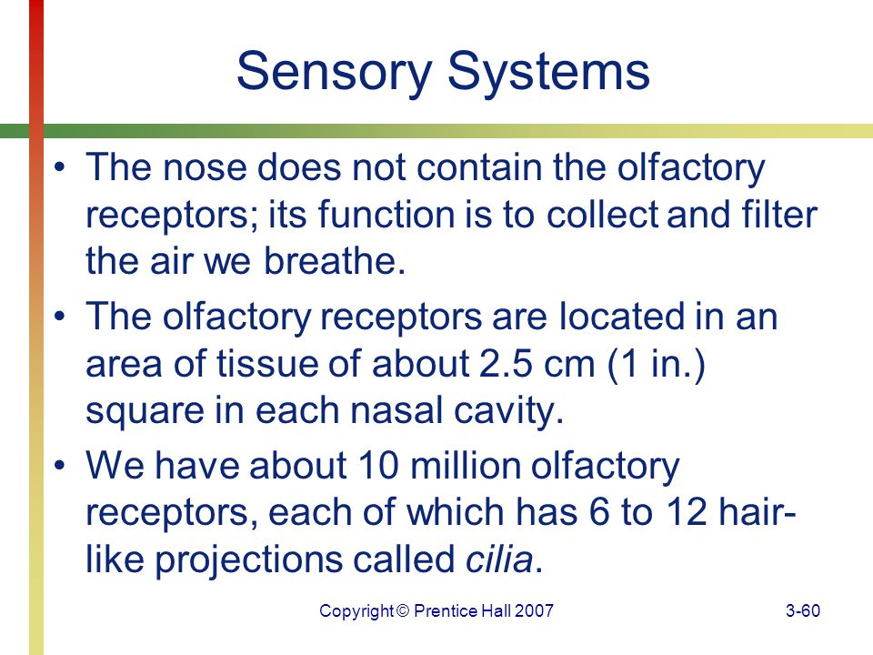 Copyright © Prentice Hall 20073-60 Sensory Systems The nose does not contain the olfactory receptors; its function is to collect and filter the air we