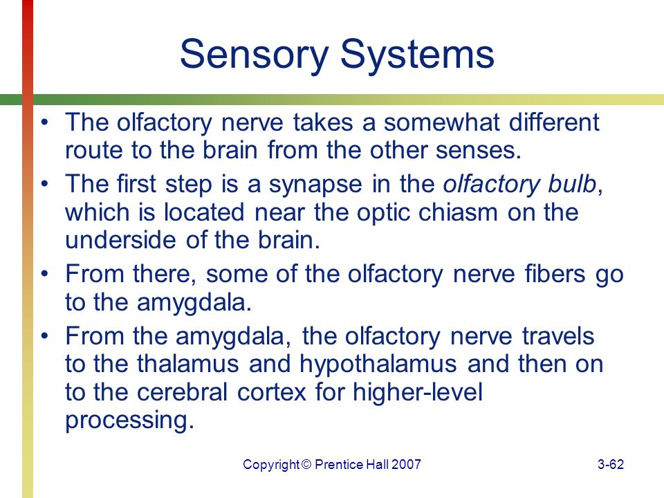 Copyright © Prentice Hall 20073-62 Sensory Systems The olfactory nerve takes a somewhat different route to the brain from the other senses. The first
