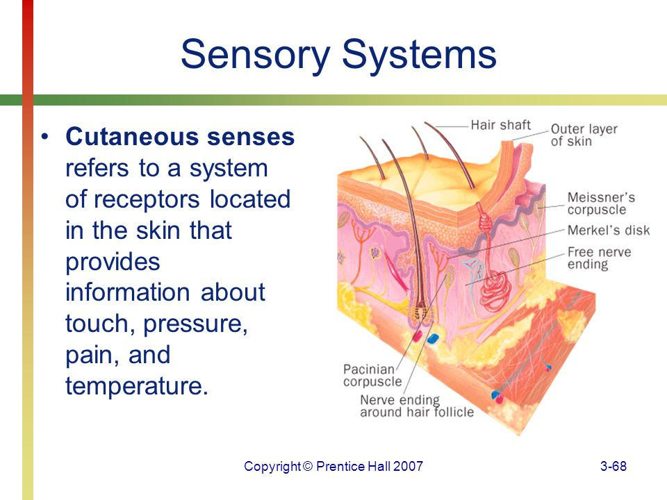 Copyright © Prentice Hall 20073-68 Sensory Systems Cutaneous senses refers to a system of receptors located in the skin that provides information abou