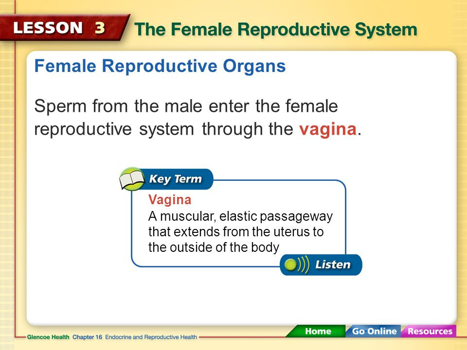 Female Reproductive Organs Sperm from the male enter the female reproductive system through the vagina.