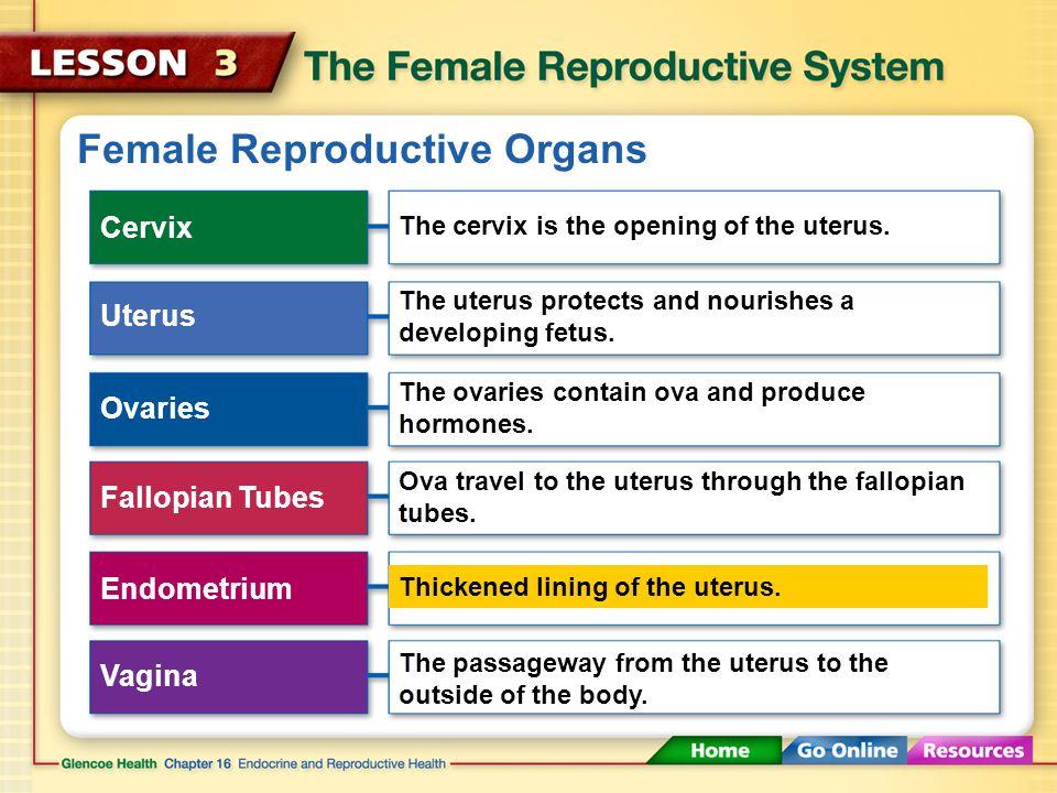 Female Reproductive Organs Cervix Uterus Ovaries Fallopian Tubes Endometrium Vagina The cervix is the opening of the uterus.