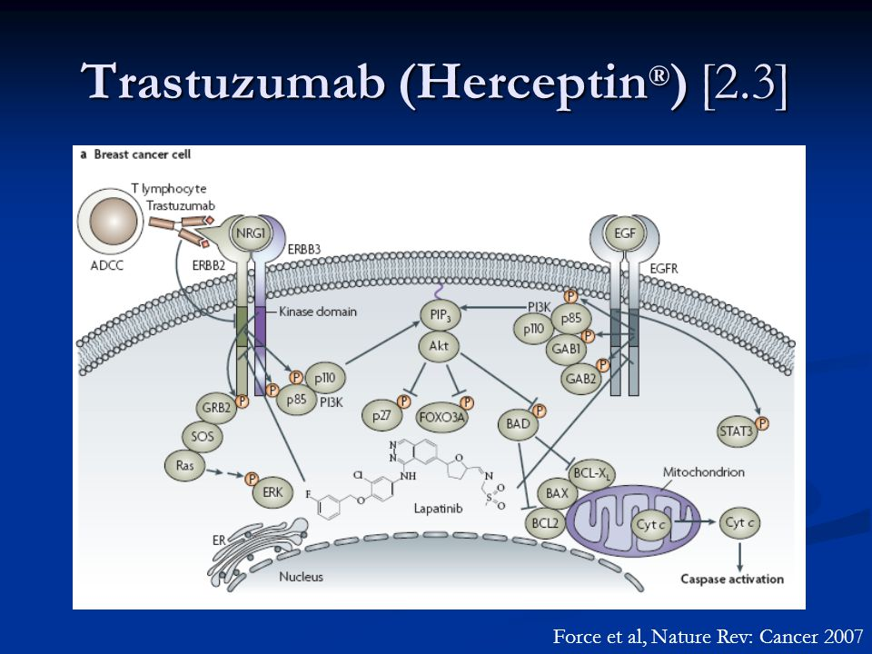 Trastuzumab (Herceptin ® ) [2.3] Force et al, Nature Rev: Cancer 2007