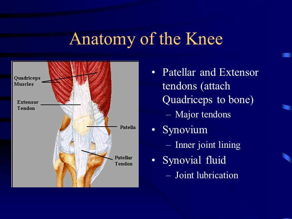 Anatomy of the Knee Patellar and Extensor tendons (attach Quadriceps to bone) –Major tendons Synovium –Inner joint lining Synovial fluid –Joint lubrication