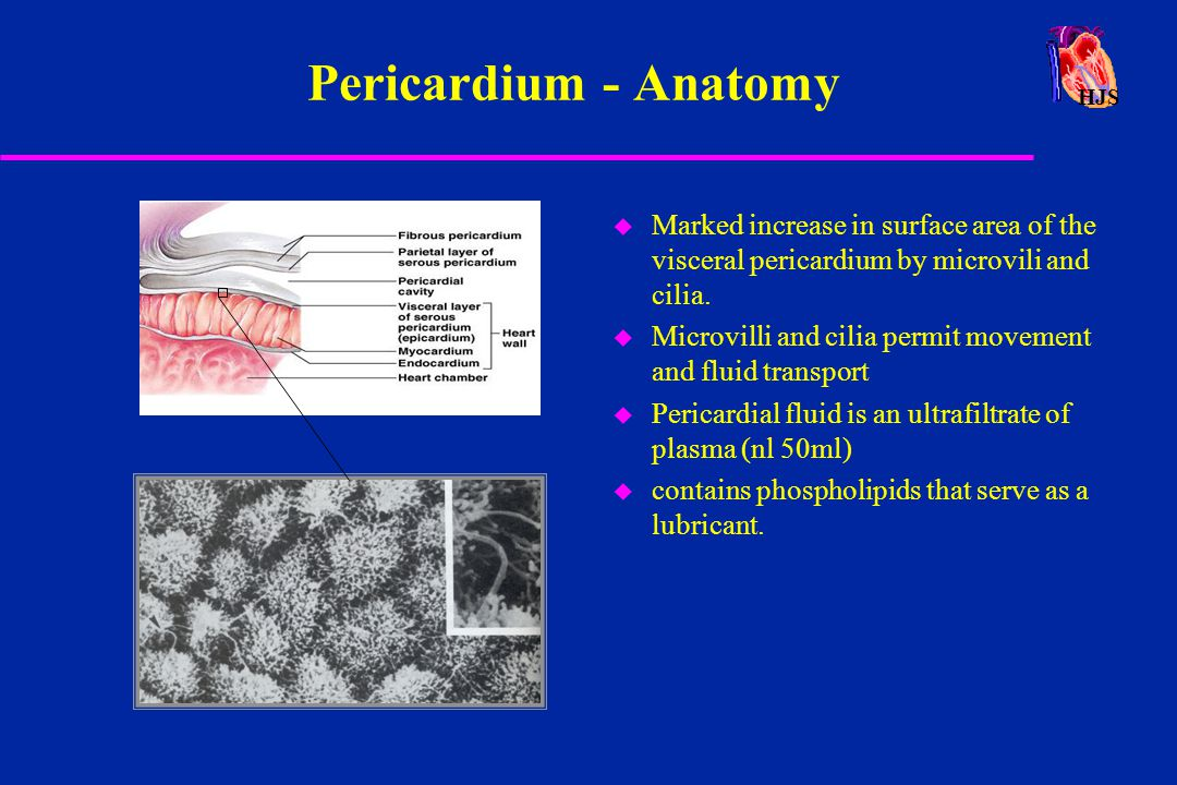 HJS Pericardium - Anatomy u Marked increase in surface area of the visceral pericardium by microvili and cilia. u Microvilli and cilia permit movement
