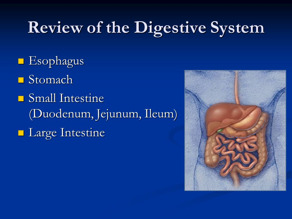 Review of the Digestive System Esophagus Esophagus Stomach Stomach Small Intestine (Duodenum, Jejunum, Ileum) Small Intestine (Duodenum, Jejunum, Ileu