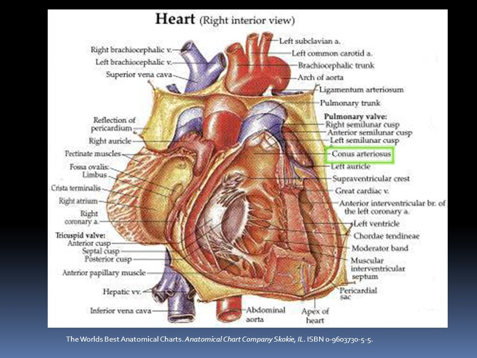 Anatomy and Embryology in Tetralogy of Fallot Figures Emily Flynn, Echocardiography in Pediatric and Congenital Heart Disease Editors Lai, Mertens, Cohen, Geva 2009