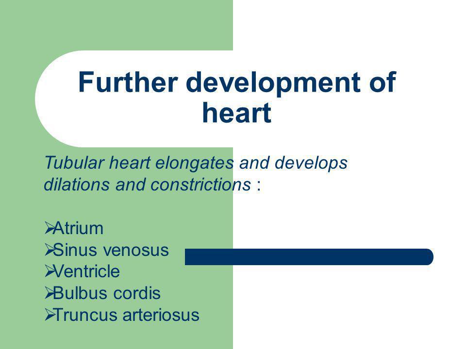 Further development of heart Tubular heart elongates and develops dilations and constrictions :  Atrium  Sinus venosus  Ventricle  Bulbus cordis 