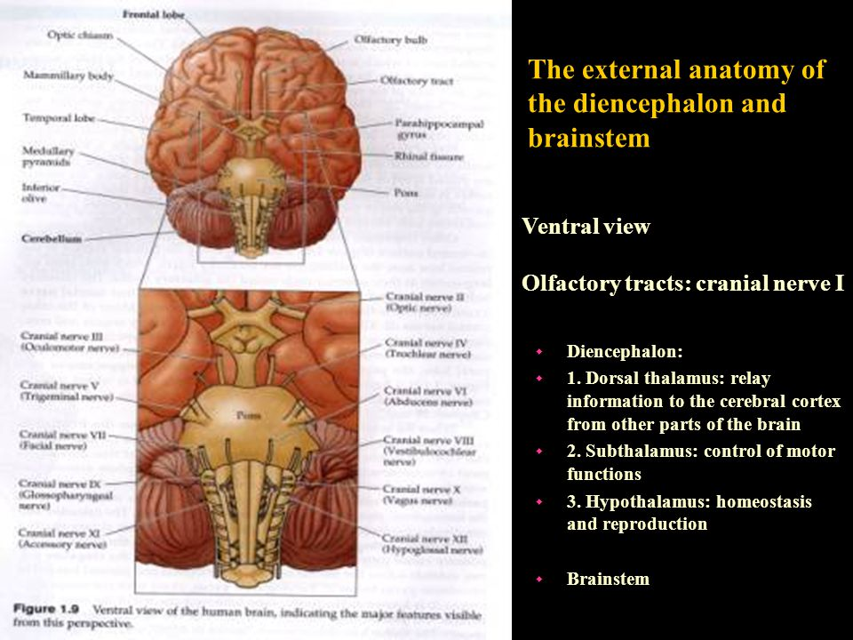 Ventral view Olfactory tracts: cranial nerve I The external anatomy of the diencephalon and brainstem w Diencephalon: w 1. Dorsal thalamus: relay info