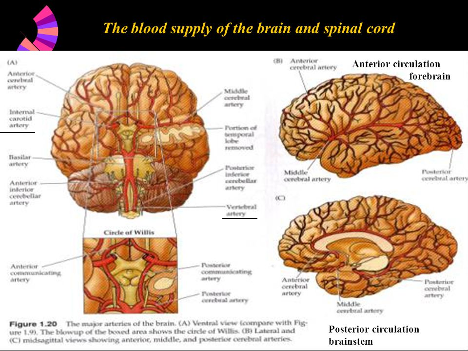 The blood supply of the brain and spinal cord Anterior circulation forebrain Posterior circulation brainstem