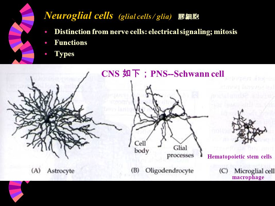 Neuroglial cells (glial cells / glia) w Distinction from nerve cells: electrical signaling; mitosis w Functions w Types 膠細胞 CNS 如下; PNS--Schwann cell