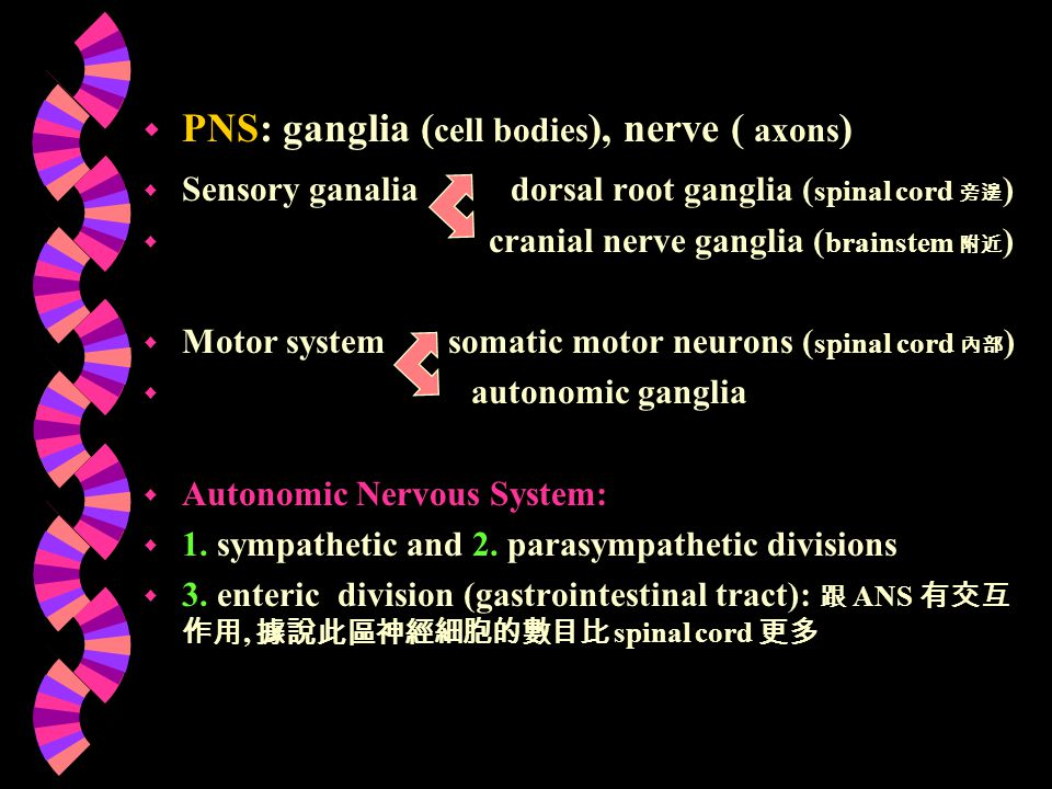 The external anatomy of the spinal cord 31 pairs spinal nerve dorsal root: sensory neuron ventral root: motor neuron